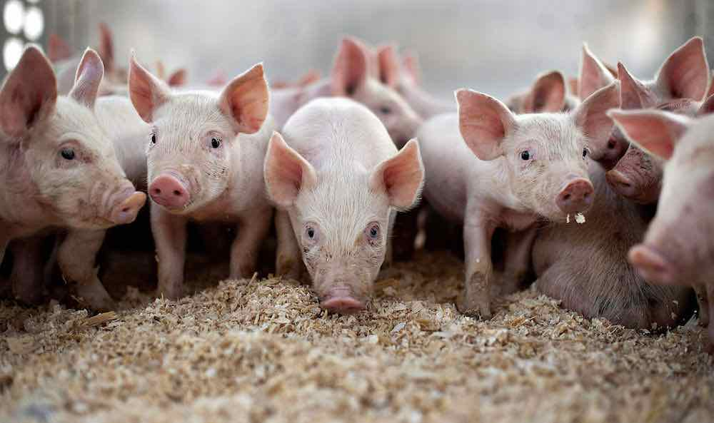 pig farming in nigeria